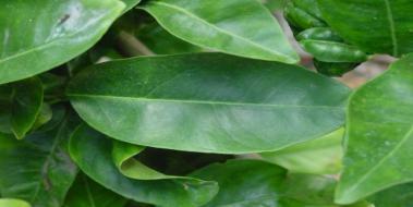 Sidir Yaprağı Sidir Yaprağı Faydaları Yapraklargentr